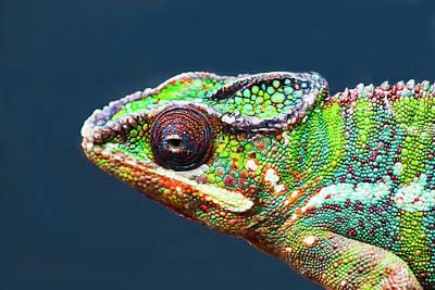 Photograph - African Chameleon by Richard Goldman