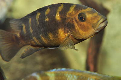 Photograph - African Cichlid by Puzzles Shum