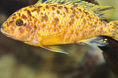Photograph - African Cichlids by Puzzles Shum