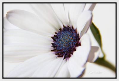 Photograph - African Daisy  Sky And Ice by Chris Berry