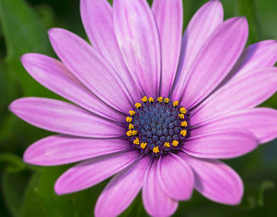 African Daisy Bloom   Art Print by SharaLee Art