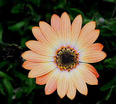 Photograph - African Daisy by Dreamweaver Gallery