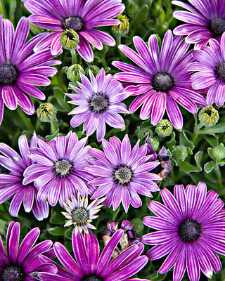 Photograph - African Daisy by Lana Trussell