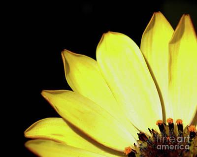 Photograph - African Daisy Osteospermum by Baggieoldboy
