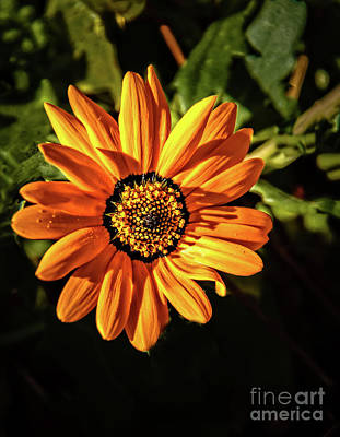 Photograph - African Daisy by Robert Bales