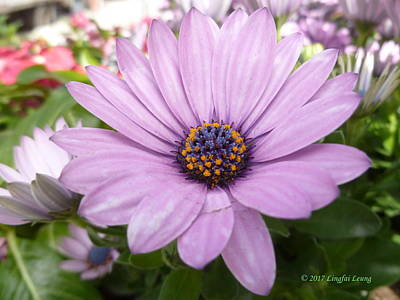 Photograph - African Daisy Spring Bloom by Lingfai Leung