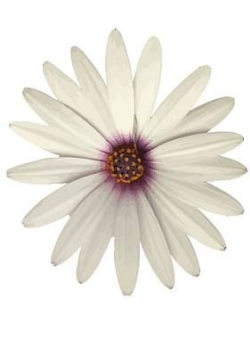 Photograph - African Daisy With White Petals by Tracey Harrington-Simpson