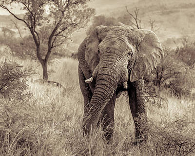 Photograph - African Elephant #1 by Tex Wantsmore