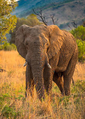 Photograph - African Elephant #2 by Tex Wantsmore
