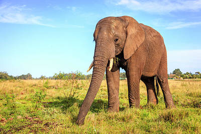 Photograph - African Elephant by Alexey Stiop