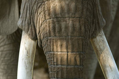 Henry Doorly Zoo Photograph - African Elephant At The Omaha Zoo by Joel Sartore