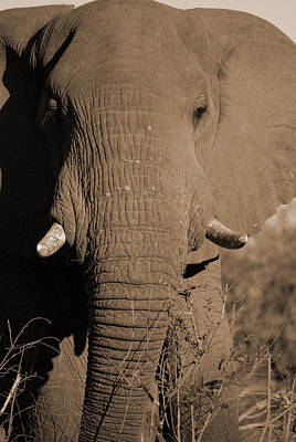 African Elephant Bull Close Up Original