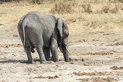 Loxodanta Photograph - African Elephant Digging by Sally Weigand