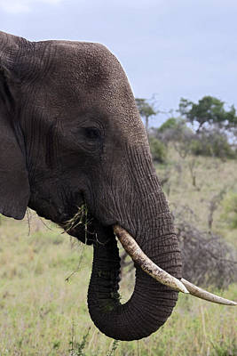 Loxodanta Photograph - African Elephant Eating Grass by Sally Weigand
