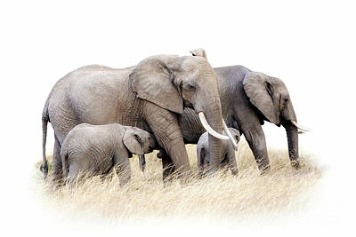 Photograph - African Elephant Group Isolated by Jane Rix