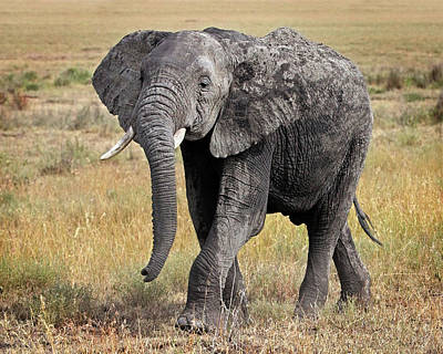 Photograph - African Elephant Happy And Free by Gill Billington