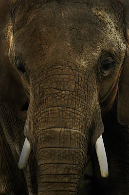 Print featuring the photograph African Elephant by Michael Cummings