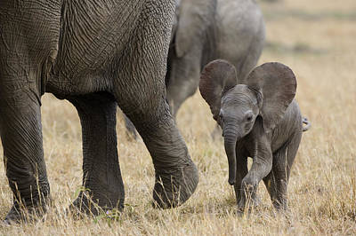 African Elephant Mother And Under 3 Art Print