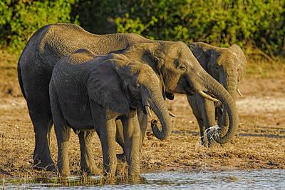 Photograph - African Elephant  by Myer Bornstein
