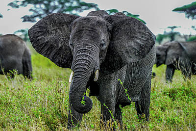 Photograph - African Elephant On The Serengeti by Marilyn Burton