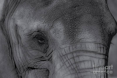 Jeffery Johnson Photograph - African Elephant One Eye View Black And White by Photo Captures by Jeffery