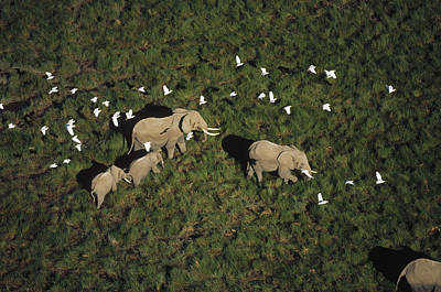 Cattle Egret Photograph - African Elephant Parents And Two Calves by Tim Fitzharris