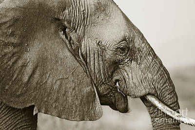 African Elephant Profile  Duotoned Art Print