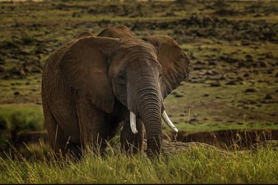 Photograph - African Elephant  by Ramabhadran Thirupattur