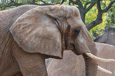 Photograph - African Elephant by Susan  McMenamin