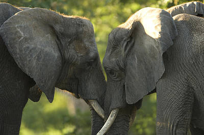 Property Released Photograph - African Elephants Loxodonta Africana by Joel Sartore