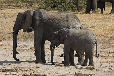 Loxodanta Photograph - African Elephants Mother And Baby by Sally Weigand