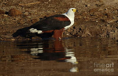 Photograph - African Fish Eagle by Myrna Bradshaw
