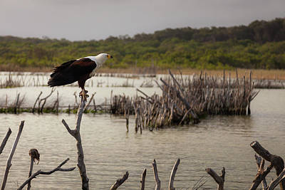 Wall Art - Photograph - African Fish Eagle by Pippa Dini