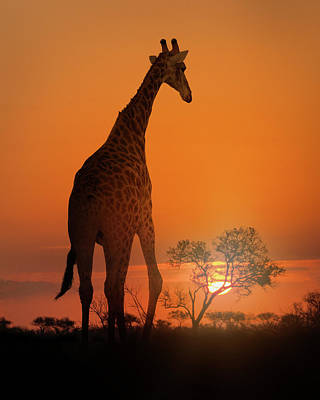 Recently Sold - Animals Royalty-Free and Rights-Managed Images - African Giraffe Walking at Sunset by Good Focused