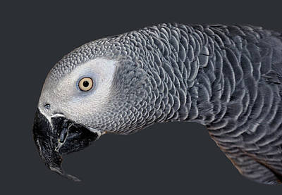 Photograph - African Grey Parrot by Donna Proctor
