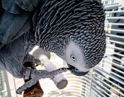 Photograph - African Grey Parrot by Melissa Messick