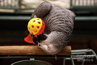 Photograph - African Grey Playing With A Toy by Jill Lang