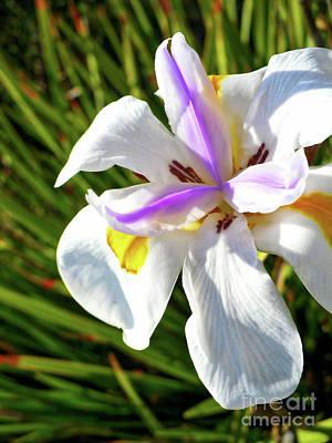 Photograph - African Iris Closeup by Carol Groenen