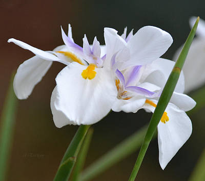 Photograph - African Iris - Dietes Iridioides by rd Erickson