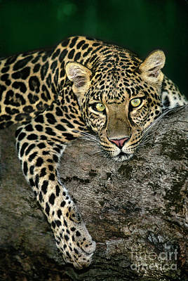Photograph - African Leopard Panthera Pardus Wildlife Rescue by Dave Welling