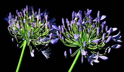 Photograph - African Lilies  Agapanthus  by John Topman