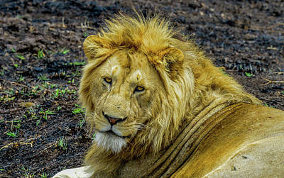 Photograph - African Lion Close-up by Marilyn Burton