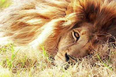 African Lion Closeup Lying In Grass Art Print