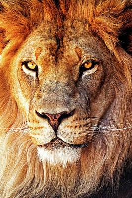 African Lion Closeup Art Print