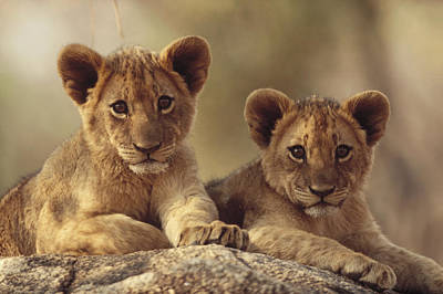 African Lion Cubs Resting On A Rock Art Print by Tim Fitzharris