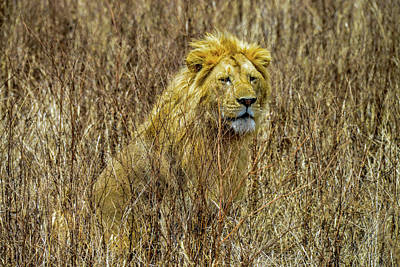 Photograph - African Lion In Camouflage by Marilyn Burton