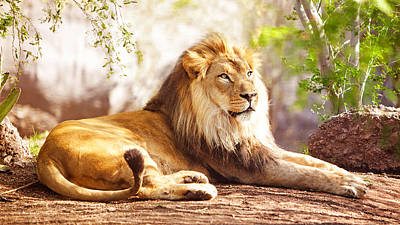 African Lion Laying In Forest Art Print