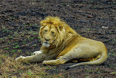 Photograph - African Lion   by Marilyn Burton