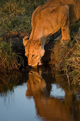 African Lion Panthera Leo Drinking Art Print by Panoramic Images