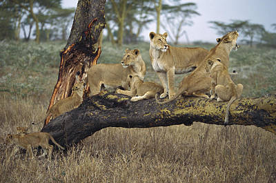 African Lion Panthera Leo Family Art Print by Konrad Wothe